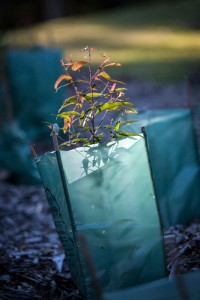 Native sapling, planted as part of a bush regeneration project, undertaken by WSN Environmental Solutions.